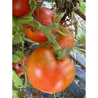 Grandiosy Arkansas Traveler Tomato SEEDSBULK 300 Count Meaty Juicy Fruits : Garden & Outdoor