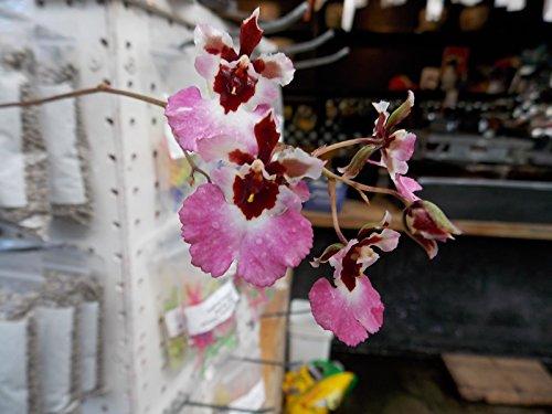 tolumnia-pralor-genting-equitant-oncidium-orchid-plant-miniature-nice