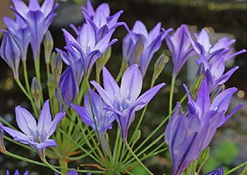 Portal Cool 40 Triteleia verano Blue Bell jardín de flores de bulbo Corm Brodiaea Reina Fabiola