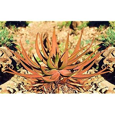 Aloe Gariepensis, Exotic Cacti xeriscaping Succulent Rare Agave Cactus 50 SEEDS : Garden & Outdoor