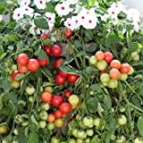 Tomato Cherry Fountain Red 1,000 seeds