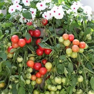 Tomato Cherry Fountain Red 1,000 seeds by Hazzard's Seeds