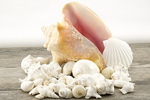 White Decorative Sea Shell Mix with Conch Shell | 6-8