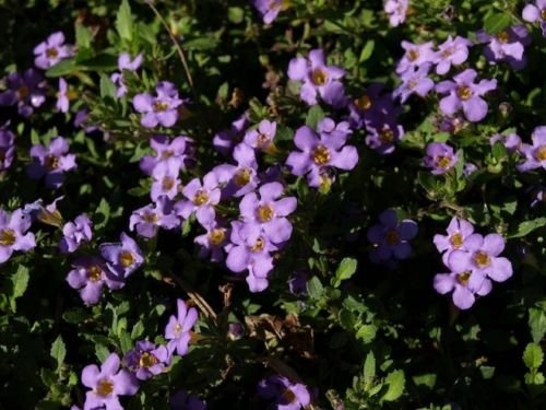 Bacopa Seeds Multi Pelleted Bacopa Blutopia 25 Seeds