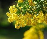 30 Sweet Acacia Golden Mimosa Acacia farnesiana Legume Seeds ~Chris's garden