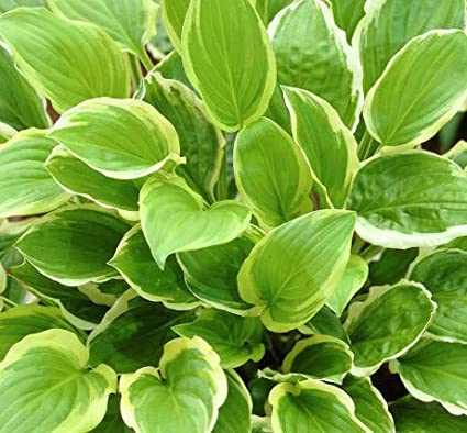 Amazoncom Hosta So Sweet Quart Pot Heavy Healthy