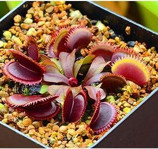 Pinkdose PROMOZIONE Vaso Insettivori pianta Bonsai Dionaea muscipula Gigante della Clip Venere acchiappamosche Bonsai 100pcs: 5