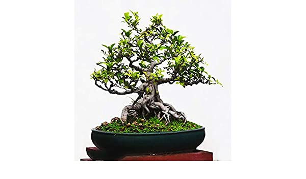 Easy-Care Houseplant Ficus Religiosa 20pcs Bodhi Tree Seeds Sacred ...