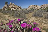 Beavertail cactus (Opuntia basilaris) in bloom, Joshua Tree National Park, California, USA Giclee Art Print Poster or Canvas