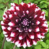 HOT !! - 2 Pcs Dahlia Bulbs Ball Bonsai Four Seasons Flowering Garden Planting