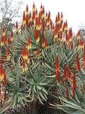 10 Seeds Aloe castanea (Yellow) Cat's Tail Aloe Air Purification Plant