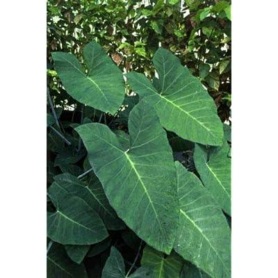 AchmadAnam - Live Plant - Elephant Ear Blue Taro Xanthosoma Violaceum 3-Inch Pot Garden : Garden & Outdoor