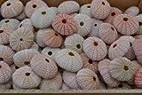 100 Pcs Bulk Pink Sea Urchins Sea Shell Beach Wedding Nautical