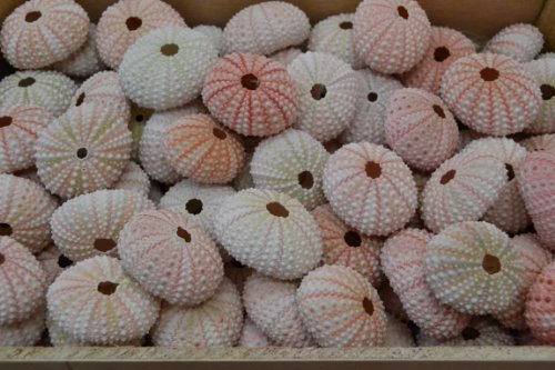 100 Pcs Bulk Pink Sea Urchins Sea Shell Beach Wedding Nautical