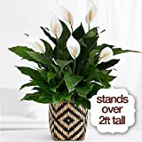 America's Favorite Plant - Same Day Indoor Plants Delivery - Best House Plants - Home Plants - Living Room Plants - Fresh Cut Flowers