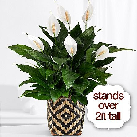 America's Favorite Plant - Same Day Indoor Plants Delivery - Best House Plants - Home Plants - Living Room Plants - Fresh Cut Flowers by eshopclub