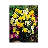 SANHOC Seeds Package: GARTHWAITE Nurseries: - 25 Mixed Miniature Daffodil/Narcissus Seeds Special MixtureSEED