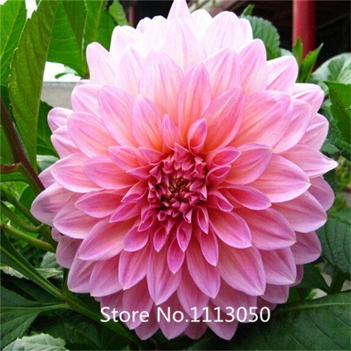 (New Arrival! 100 Mixed Colors Dahlia Seeds- Super Dinner Plate flower seeds)