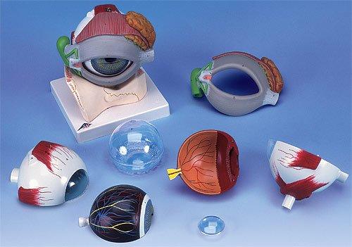 【SEAL限定商品】 3B社 (f12) 眼球模型 視覚器(眼球)5倍大8分解ジャイアントモデル眼窩床眼瞼涙器付 3B社 眼球模型 B003Z2Q8NS (f12) B003Z2Q8NS, 羅臼町:6857c9d8 --- a0267596.xsph.ru