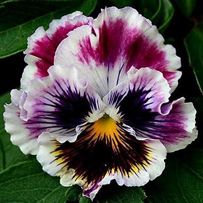 Humany flowerseeds- 100pcs Pansy Flower Seeds, Ornamental Flowers Flowerpots for Home Garden : Garden & Outdoor