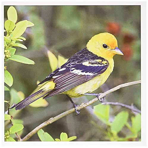 3dRose Greeting Cards, Male in Spring, Texas, Western Tanager (gc_191318_2)