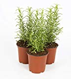 "The Three Company Aromatic and Edible 4.5"" Rosemary (3 Per Pack), Boosts Immune System, Comes with Free Bonus Herb"