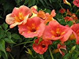Campsis grandiflora-Orange/yellow flowers-Chinese trumpet creeper -10 seeds