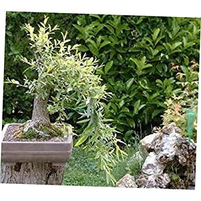 GHY 1 Bare Root Black Willow Bonsai Indoor or Outdoor Bonsai Tree - RK2312: Garden & Outdoor