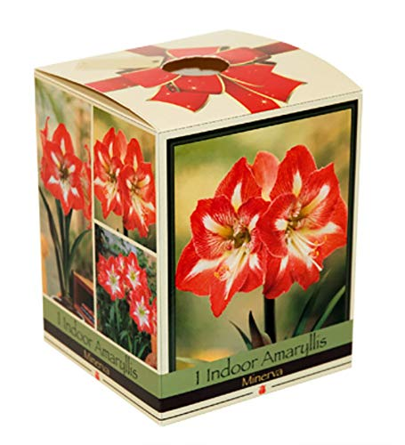 (Amaryllis Kit: Minerva + Plastic Pot/Soil/Bulb - Large Bulb 26/28 cm -Netherland)