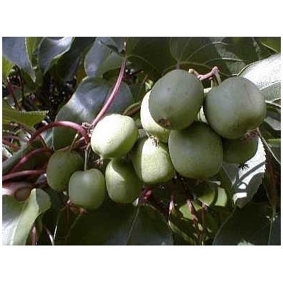 Hardy Kiwi Fruit 20 Seed -Actinidia chinensis-Perennial : Plant Seed Collections : Garden & Outdoor