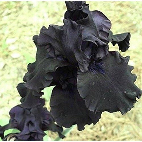 r/Ã/©sistant /Ã/ la chaleur couleur rare attrayant, 5 graines diris noires fleur de jardin p/Ã/©renne