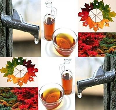 4 Packs x 75 Sugar Maple Tree Seeds - Northern Sugar Maple - ACER saccharum Seed - WIDE RANGE OF FALL COLORS - Make Your Own Maple Syrup Today - Zone 3 - 8 - By MySeeds.Co