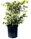 Jaboticaba Tree, 2 Feet Tall, 3-gal Container from Florida
