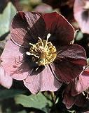 Purple Christmas Rose 10 Seeds -Helleborus-Shade