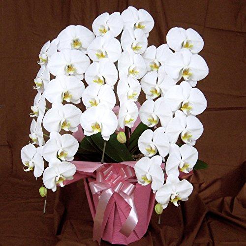 胡蝶蘭 白 三本立ち 鉢サイズ8号 B00RC8DNA2