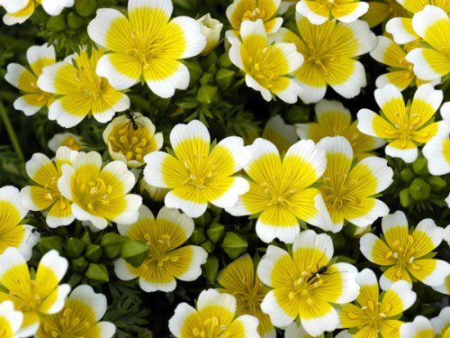FLOWER LIMNANTHES DOUGLASII POACHED EGG MIX 3 GRAM ~ APPROX 360 FINEST SEEDS Premier Seeds Direct LIM01F