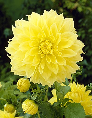 Van Zyverden Dahlias - Kelvin Floodlight - Set of 5 Bulbs, Yellow