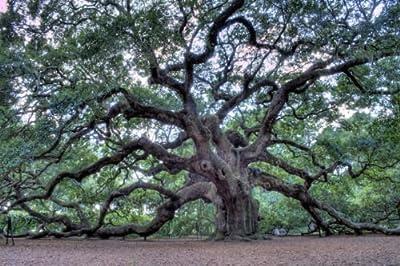 Quercus Virginiana - Southern Live Oak - 1 Plant - Quart Pot