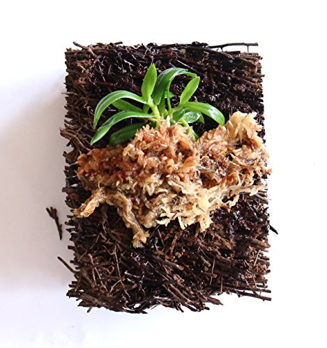 BLOOMIFY Mounted Miniature Orchid - Haraella retrocalla - Wrapped with Long Fiber Sphagnum Moss - 3'' mount by Bloomify