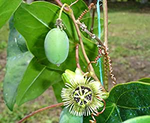 Asklepios-seeds® - 15 seeds of Passiflora coriacea, wild sweet calabash, bat leaved passion flower