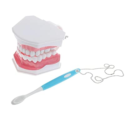 ZGood Dental Teaching Study Adult Standard Typodont Demonstration Teeth Model Wiht blue Brush: Toys & Games