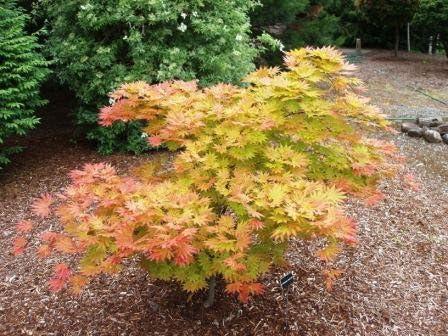 Amazoncom 10 Seeds Of Autumn Moon Maple Acer Shirasawanum Garden