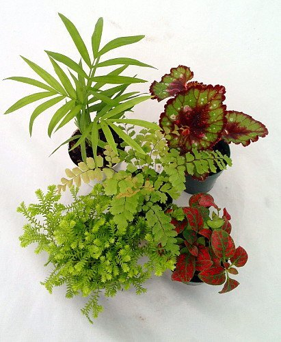 Jmbamboo-collection-Terrarium & Fairy Garden Plants - 5 Plants in 2