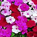 Outsidepride Impatiens Peppermint Mix Seed
