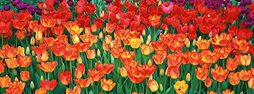 Walls 360 Peel & Stick Flower Wall Murals Red Yellow Tulips Botanical Garden Buffalo (36 in x 12 in)