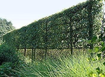 VISTARIC arce, Seto Arce, cerca viva, 25 semillas! Groco: Amazon.es: Jardín