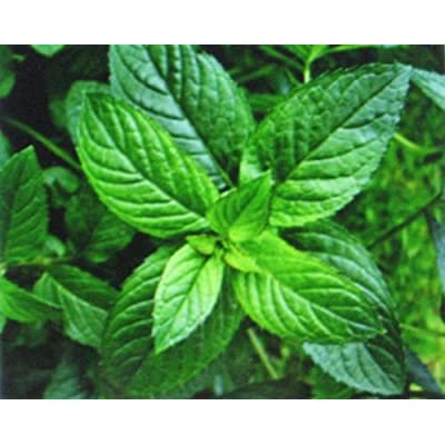 Grandiosy Peppermint 50 Seeds HERB Medicinal Seasoning : Garden & Outdoor