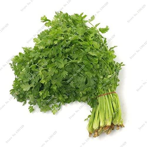 Hierba cilantro semillas verdes Healthiy Hierba orgánica de ...