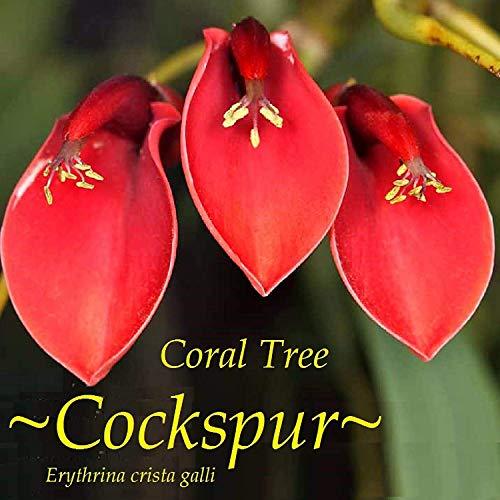 Hardy Ornamental Flowering Trees - Plentree ~Cockspur Coral Tree~ Erythrina Crista-Galli Ornamental Hardy Flowering 30 Seeds