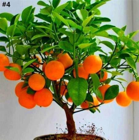 Kofun Flower Vegetable Fruit Seeds Petal Plants Home Garden Yard Decor Rock Candy Orange Tree Seeds (10 Pieces)